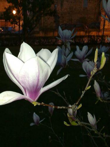 magnolia de noche