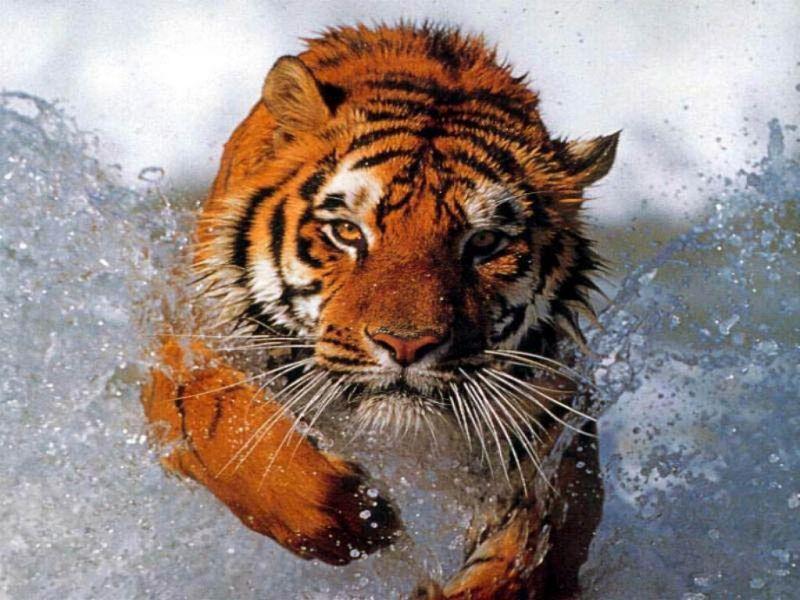 tigres-0